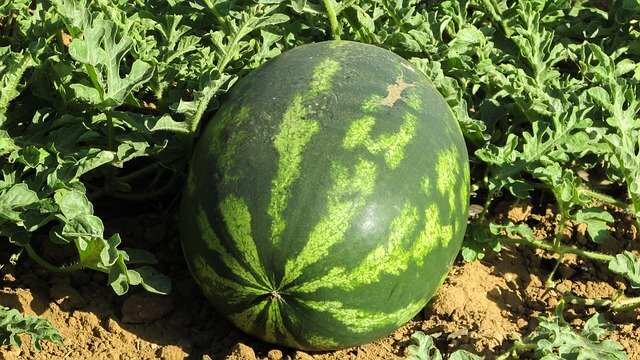 light watermelon plant needs