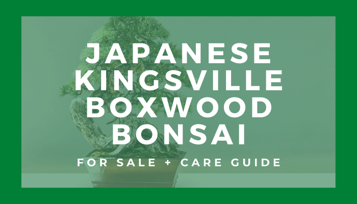 Buy a Japanese kingsville boxwood bonsai