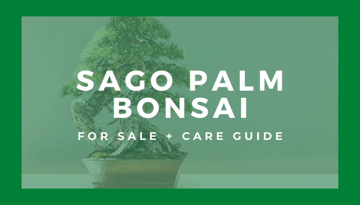 buy a sago palm bonsai tree