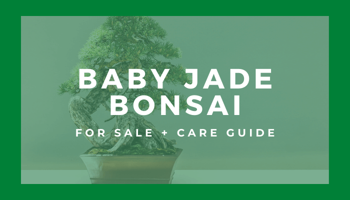 Baby Jade Bonsai Tree For Sale Care Guide