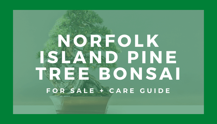Buy A Norfolk Insland Pine Tree Bonsai