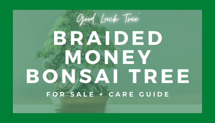 Buy A Braided Money Bonsai Tree