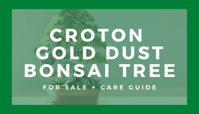 Buy A Croton Gold Dust Bonsai Tree