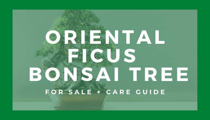 Buy An Oriental Ficus Bonsai Tree