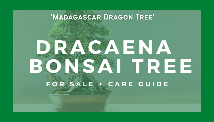 Buy a dracaena bonsai tree