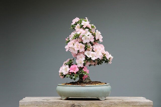 Indoor Bonsai Trees For Beginners